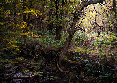 Deer in woodlands, West Midlands, UK - p429m1448037 by Matt Walford