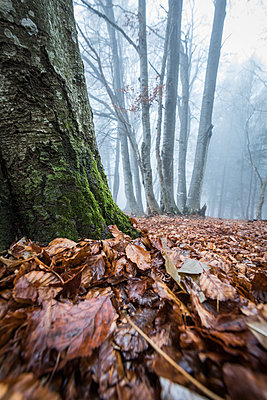 Foliage of autumn, Parco della Grigna, province of Lecco, Lombardy, Italy, Europe - p871m1583735 by Roberto Moiola