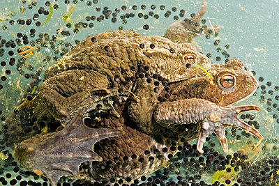 European Toad  pair in amplexus, spawning, Vledder, Drenthe, Netherlands - p884m1143114 by Edo van Uchelen/ NiS