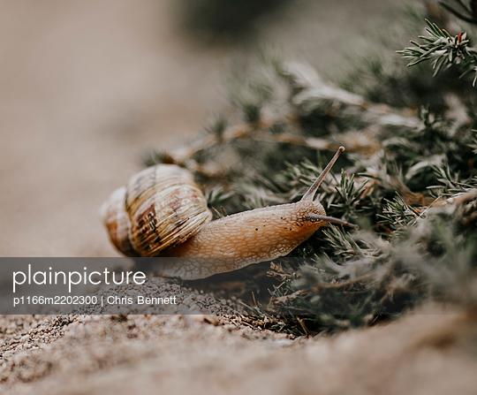 Snail crawling on sand, California, USA - p1166m2202300 by Chris Bennett