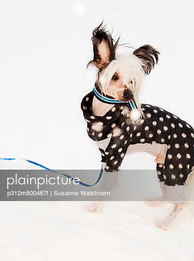 Dog In Spotted Clothes Studio Shot