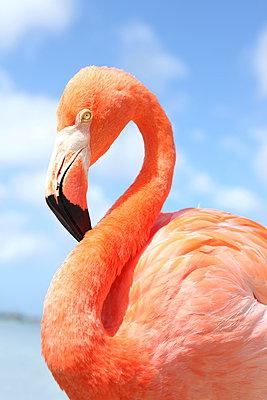 Flamingo at Aruba - p045m912532 by Jasmin Sander