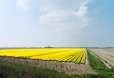Bulb fields with blossoming flowers, Netherlands - p429m942631f by Mischa Keijser