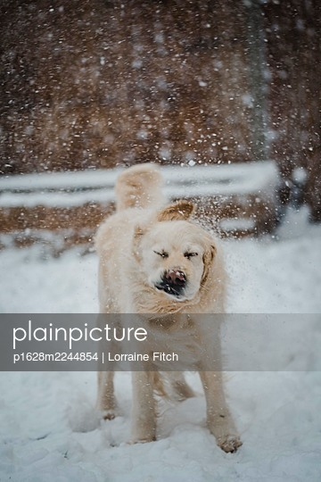 Golden retriever in the snow - p1628m2244854 by Lorraine Fitch