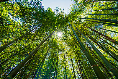 looking up a Bamboo forrest in Damyang - p1166m2268510 by Cavan Images