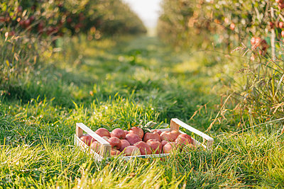 Crate with apples in orchard - p300m1206183 by Kniel Synnatzschke