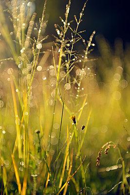 Sweden, Leksand, Drops of water on grass stalks - p300m2213673 by Biederbick&Rumpf
