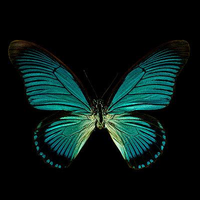 Schmetterling vor schwarzem Hintergrund - p587m1575076 von Spitta + Hellwig