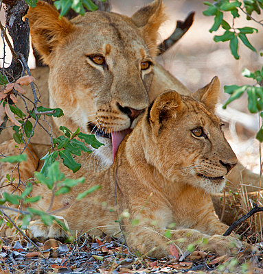 A lioness and cub in Selous Game Reserve - p6521495 by Nigel Pavitt