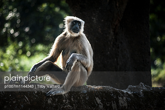 Semnopithecus entellus monkey sitting on a wall - p1007m1144343 by Tilby Vattard