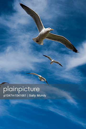 Four gulls in flight against a blue sky - p1047m1041661 by Sally Mundy