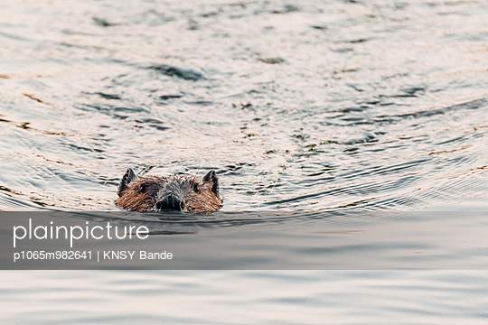 Beaver at Chandos Lake - p1065m982641 by KNSY Bande