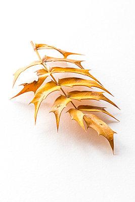 Mahonia Aquifolium leaf  - p1302m1584118 by Richard Nixon