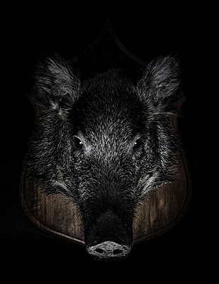 Taxidermy, Wild boar head - p1280m2089695 by Dave Wall