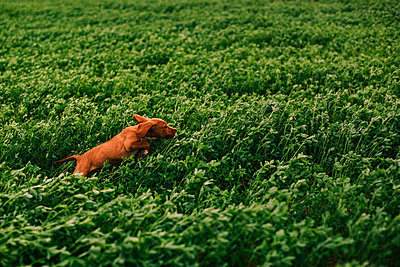 Puppy jumping on meadow - p300m2023565 by Aitor Carrera Porté
