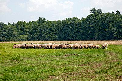 Schafe - p382m832072 von Anna Matzen