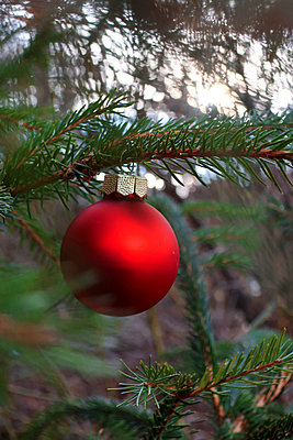 Christmas ball hanging on spruce outdoors - p450m1515427 by Hanka Steidle