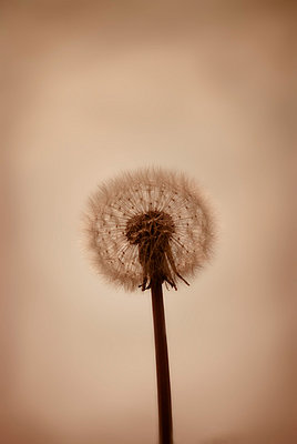 Dandelion seed head - p5970309 by Tim Robinson