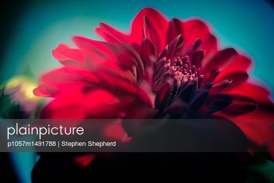 Red dahlia blossom close-up - p1057m1491788 by Stephen Shepherd