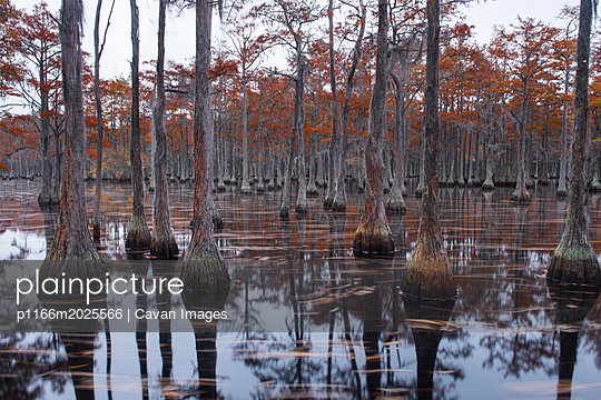 Scenic view of trees in Cypress Lake at forest - p1166m2025566 by Cavan Images