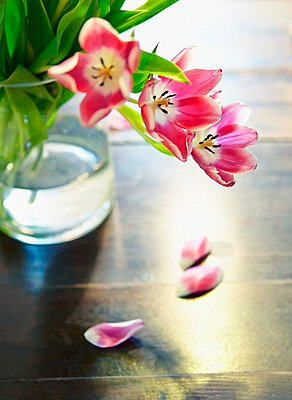 Red overblown tulips in glass vase - p1183m997553 by L̦ffler, Michael