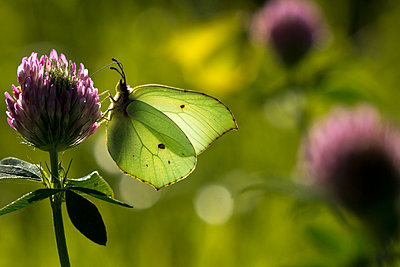 Two Brimstone Butterflies - p1251m1061140 by Heikki Tabell