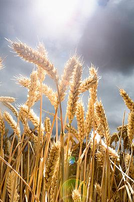 Ears of corn under dark clouds - p1057m2008302 by Stephen Shepherd