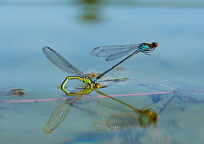 Two red-eyed damselflies in oviposition at water surface - p300m2081466 by Martin Siepmann