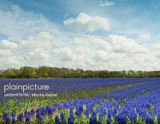 Purple hyacinth field - p429m819796 by Mischa Keijser