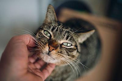 Hand of man stroking tabby cat - p300m1228133 by Ramon Espelt