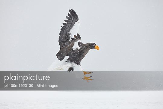 Steller's Sea Eagle, Haliaeetus pelagicus, landing on frozen bay in winter. - p1100m1520130 by Mint Images