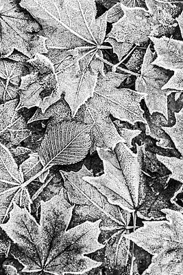 Leaves with hoar frost - p739m1191063 by Baertels