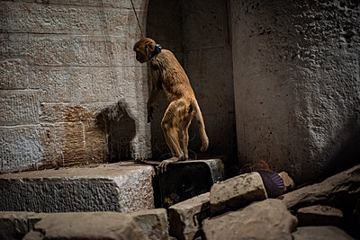 India, Tied monkey - p1007m2099048 by Tilby Vattard