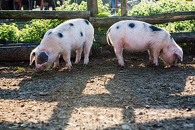 Schweine - p1057m1072051 von Stephen Shepherd