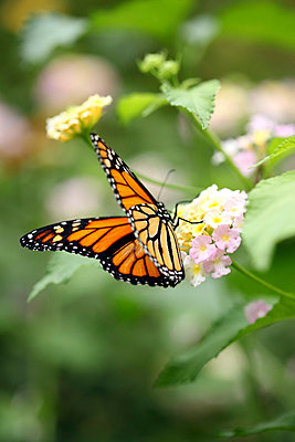 Monarch Butterfly - p406m710159 by clack