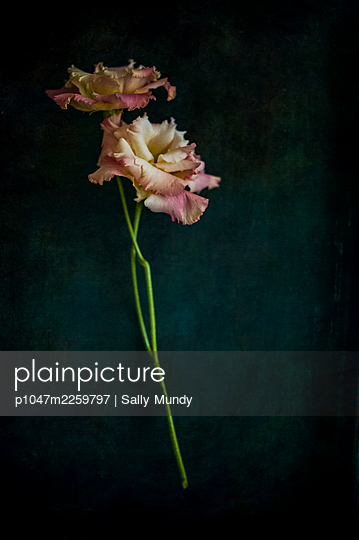 Pink lisianthus flowers on bifurcated stem against dark background - p1047m2259797 by Sally Mundy