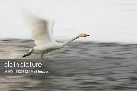 Whooper Swan, Cygnus cygnus, flying over frozen bay in winter. - p1100m1520152 by Mint Images