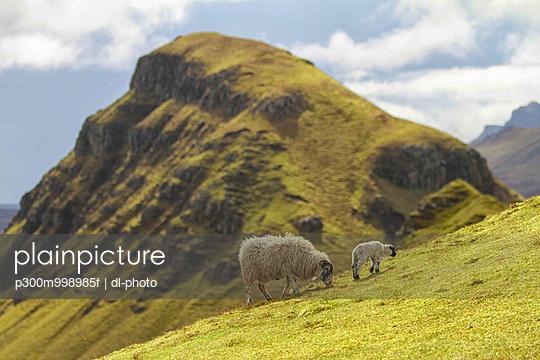 UK, Scotland, Isle of Skye, Quiraing, sheep on meadow - p300m998985f by dl-photo