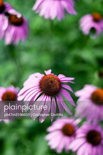 Medicinal plant, Echinacea, close-up - p947m2196633 by Cristopher Civitillo