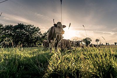 Kühe im Sonnenuntergang auf einer Weide - p1402m2193310 von Jerome Paressant