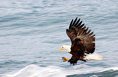 Bald Eagle Fishing - p4342908f by Donna Eaton