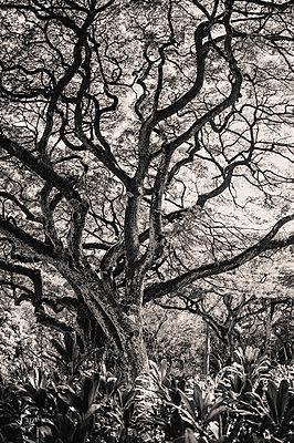 Kapok Tree - p694m1014766 by Kristianne Riddle