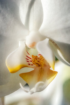 Close-up of white orchid - p1047m1540176 by Sally Mundy