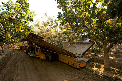 Agriculture - Pistachio harvesting; a mechanical shaker removes the nuts from the tree while the receiver collects the fallen nuts and conveys them into a bulk collection tank / near Delano, San Joaquin Valley, California, USA. - p442m967635 by Ed Young
