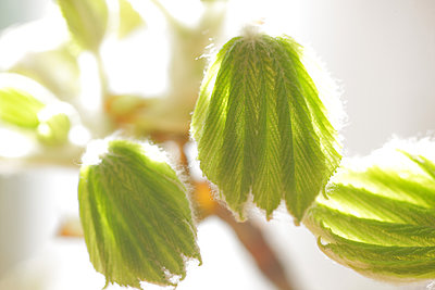Chestnut leaves - p1016m1539475 by Jochen Knobloch