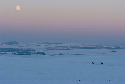 two deer and full moon in winter - p300m885124f by Andreas Pacek