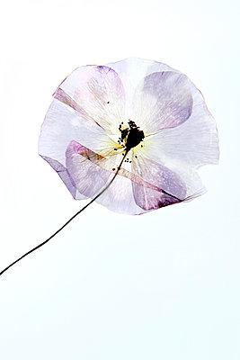 Zarte Blumen - p451m1185404 von Anja Weber-Decker