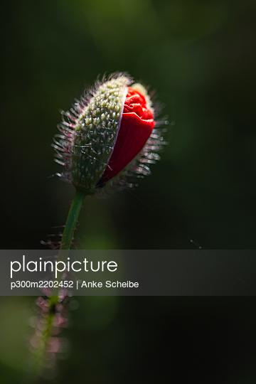 Red poppy bud growing in field - p300m2202452 by Anke Scheibe