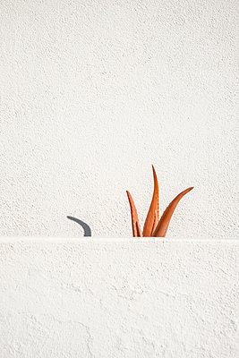 Orangefarbene Aloe Vera zwischen zwei weissen Mauern - p1162m1516859 von Ralf Wilken
