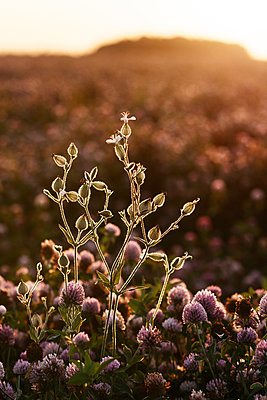 Flower in a clover field at sunset, Ryazan, Russia - p300m2143873 by Ekaterina Yakunina